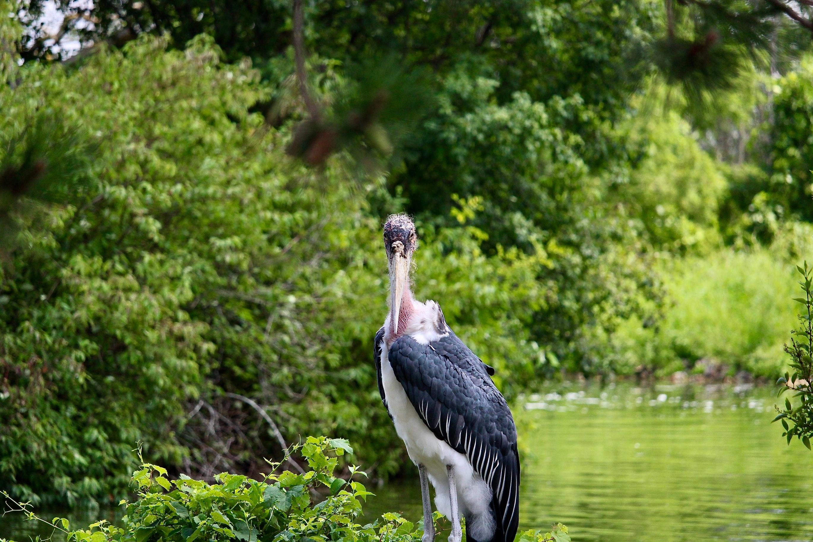 Marabou Stork   story.one