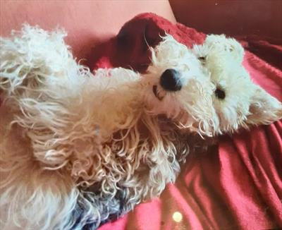 Owned by a Fox Terrier | story.one