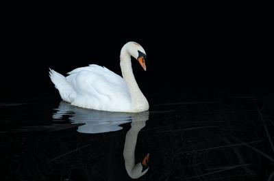 THE SWAN | story.one