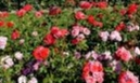I promised you a Rose Garden... | story.one