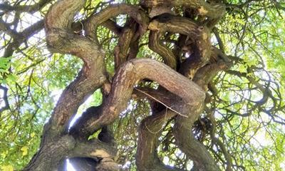 Unterm Trauerschnurbaum | story.one