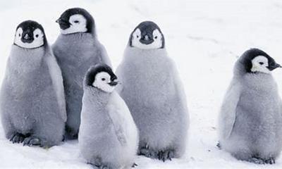 Pinguine kommen ohne Bauchnabel zur Welt | story.one