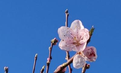 Der Pfirsichbaum | story.one