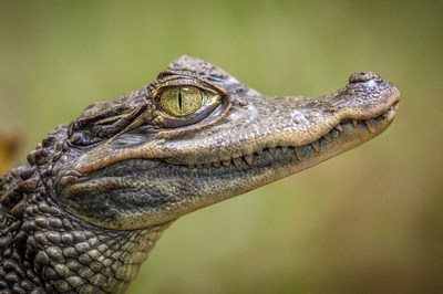 Alligator schmeckt! | story.one
