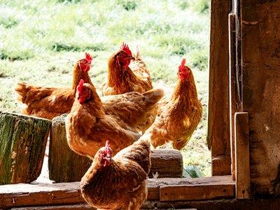 Urgroßmutter und ihre Hühner | story.one