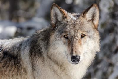 Auge in Auge mit einer Wölfin   story.one