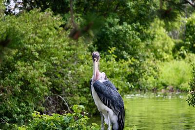 Marabou Stork | story.one