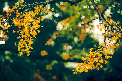 Grounding with golden ginkgoes in Japan | story.one