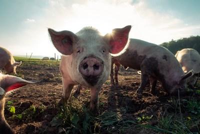 Schwein mit Schuljause | story.one